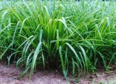 hạt cỏ giống tại vật tư chăn nuôi với nhiều chọn lựa cho người dùng.  http://vattuchannuoi.com/hat-co-giong