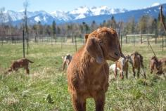 A young goat on a farm in montana with Como Peaks in background
