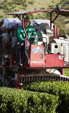 Harvesting & Growing Green Tea